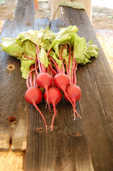 Organic Early Wonder Tall Top Beet ,Beta vulgaris