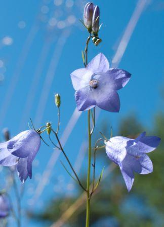 Harebell Mountain , Campanula rotundifolia