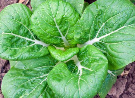 Organic White Stemmed Pac Choy, Brassica rapa var chinensis .300