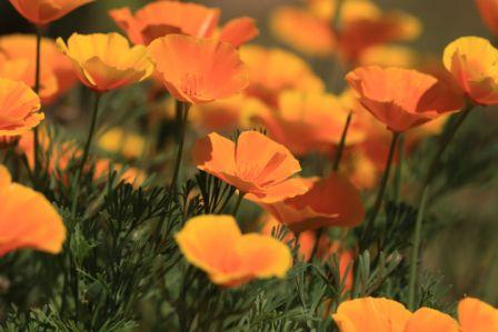 Poppy, California, Orange  Eschscholzia californica