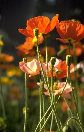 Poppy, Corn (Shirley), Mixed Papaver rhoeas