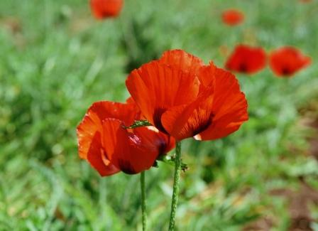 Poppy, Corn (Shirley), Red Papaver rhoeas