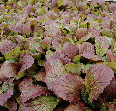 Organic Red Giant Mustard, Brassica juncea .300 grams