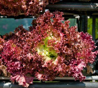 Organic Red Oak Leaf, Lactuca sativa .100 grams