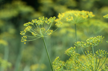 Organic Fennel Bronze and Green, Foeniculum vulgare  .750 grams