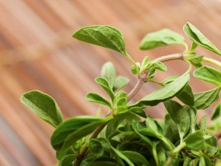 Greek Oregano, Origanum vulgare hirtum  .100 grams