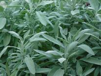 Organic Sage, Salvia officinalis  .750 grams