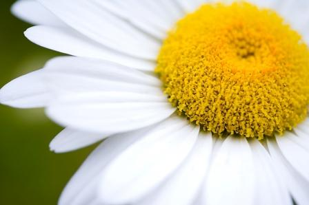Shasta Daisy  Chrysanthemum maximum